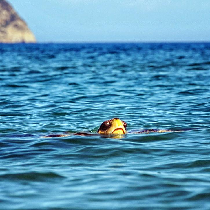 Żółw morski (Caretta Caretta)