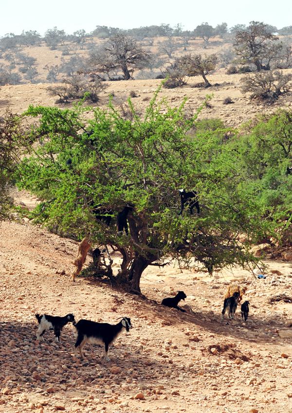 Typowy marokański widok - kozy na drzewie