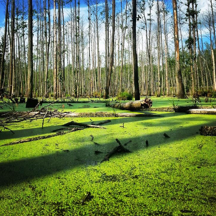 Bagna i lasy otaczające Wilczy Szaniec