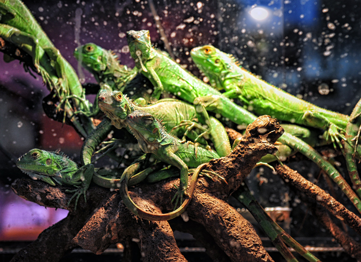 Legwany zielone (Iguana iguana)