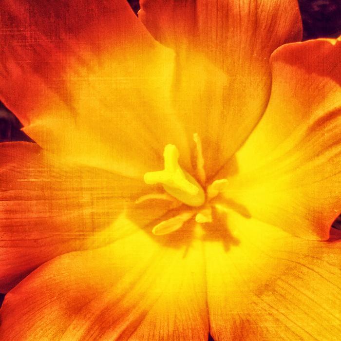 Zakwitły tulipany