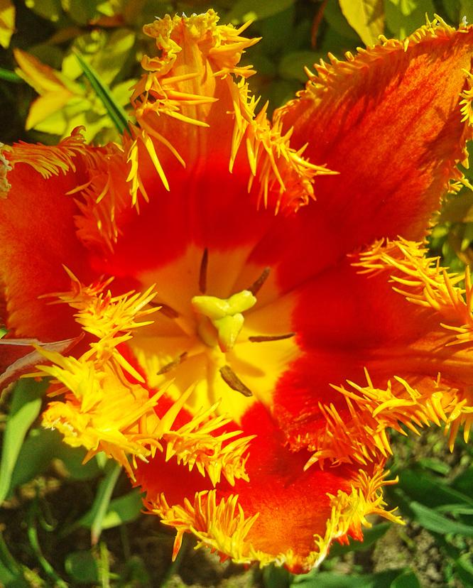 Piękny tulipan w ogrodzie