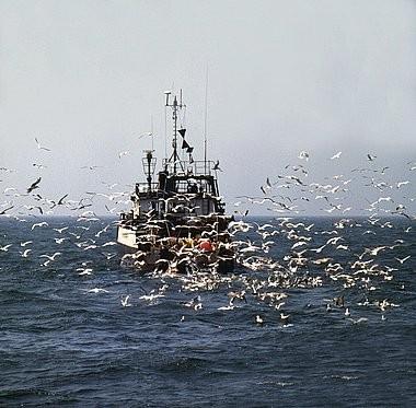 Des poissons noyés par la surpêche...