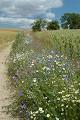 Wiejska droga - pole kwiaty