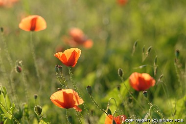 Kwiaty polne - maki