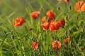 Amapolas - flores del pa�s