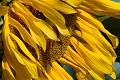 Flor del sol