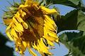 Flor del sol, flores del verano