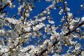Fotos da primavera - árvores florescendo