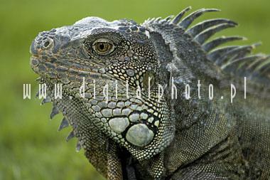 Las iguanas marinas de Galapagos.
