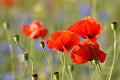 Flores, amapolas (Papaver)