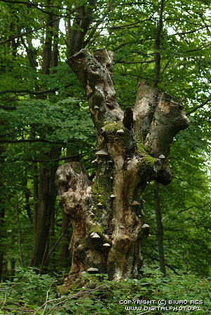 Gammel tre, bilder av skog