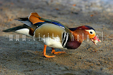 Birds photos > Duck