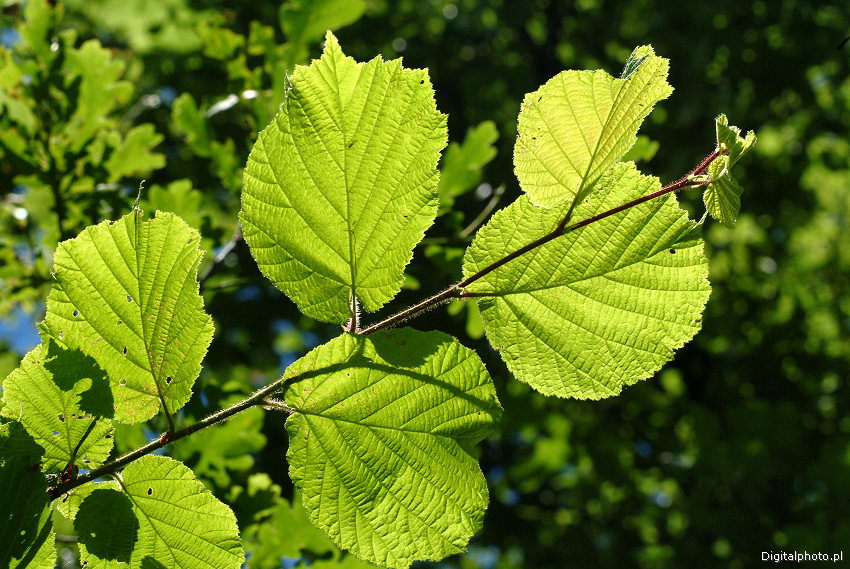 Alder Leaf Image Bank Photos Pictures