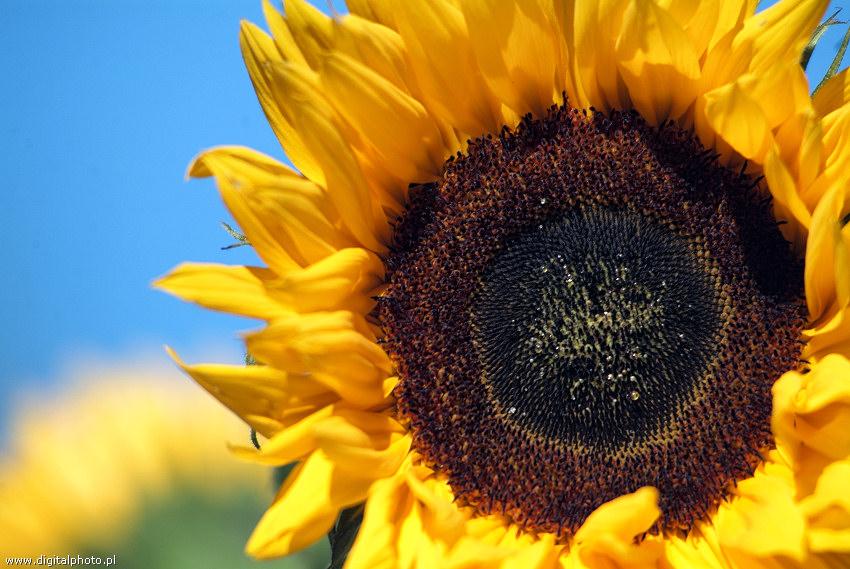 Blomster billeder   solsikke
