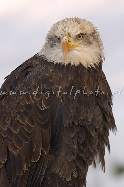 Eagles images