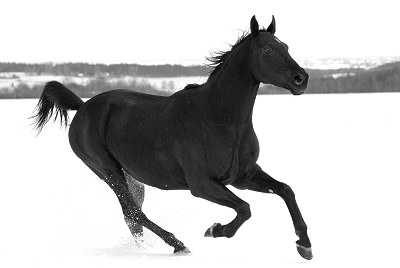 Horses pictures - black and white photography