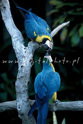 Ara, Papugi