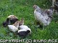 Kura i kurczaki