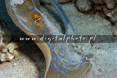 Bluespotted stingray - fotos subaquáticas