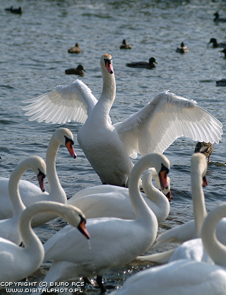 Birds pictures. Swans