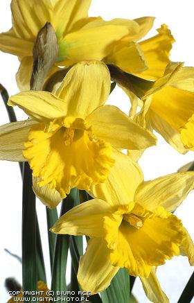 Foto i den påskeliljer Blomster  billeder