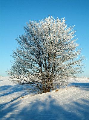 Trädn bilder. Vinter