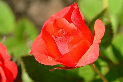 Rojo color de rosa, imágenes de flores