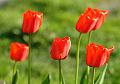 Tulipas vermelhos. Retratos das flores