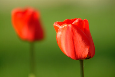 Spring images, flowers, red tulips