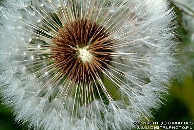 Macrofotografia das flores: Dente-de-leão