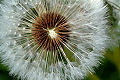 Macrofotograf�a de flores: Diente de le�n