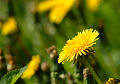 Flores imagens: Dente-de-leão