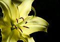 Lirio. Cuadros de flores