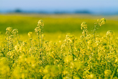 Rapeseed (napus) do Brassica, campo do Rapeseed