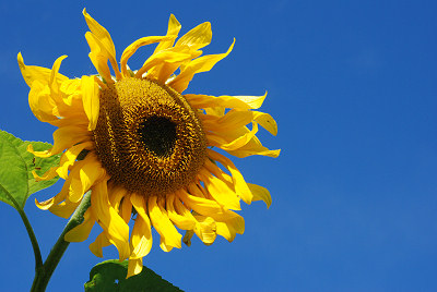 Sunflower, flowers pictures