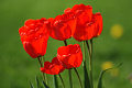 Flores del primavera, tulipanes