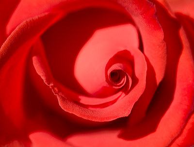 Red rose, pictures of flowers