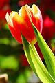 Tulipa bonito