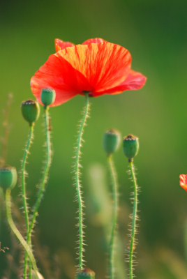 Red poppies, summer flowers