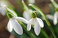 Flores bonitas, nivalis de Galanthus