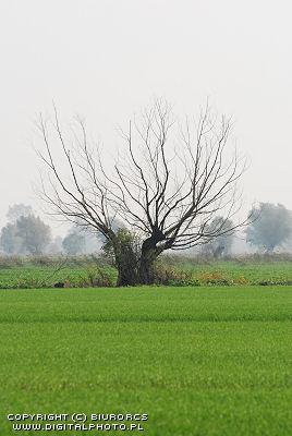 Viejo Salix
