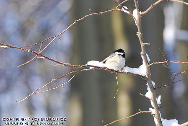 Great Tit, bird