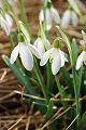 Flores da primavera, Galanthus Nivalis