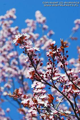 2458_2007-0128-cherry-tree.jpg