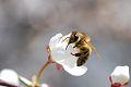 �rboles frutals, abeja