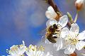 Ciruelos, �rbol, primavera