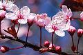 Fotos del cerezo