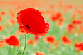 Red poppies photographs