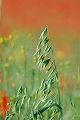Aveia, Flores do campo, campos